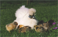Silkie hen with other breed chicks