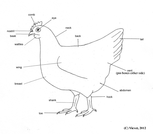 Chicken External Anatomy Diagram Illustration Of Wiring Diagram