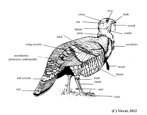 Turkey external anatomy